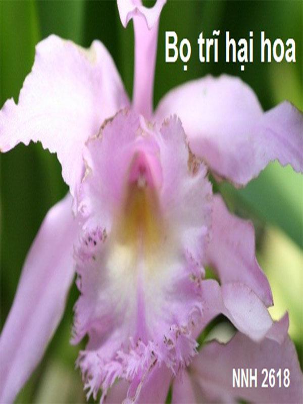 cách diệt bọ trĩ cho hoa phong lan