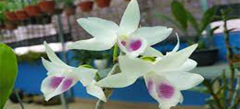 hoa lan phi điệp 5ct mắt nai