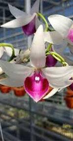 hoa phong lan 5ct lâm xung
