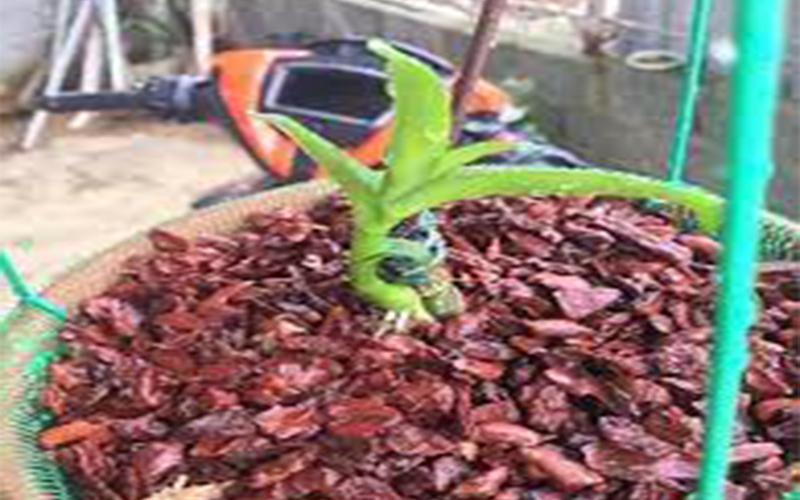 vỏ thông trồng lan
