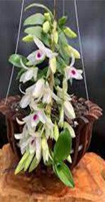 hoa phong lan 5ct phú thọ